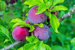 Alcune bacche porpora-rosa della prugna Frutta incredibilmente deliziosa e sana Immagini Stock
