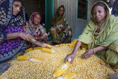 Alcune donne locali che raccolgono cereale, Manikgonj, Bangladesh Fotografia Stock