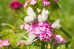 Alcune farfalle su un fiore Fotografia Stock Libera da Diritti