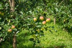 Alcune mele su un albero Immagini Stock