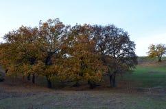 Alcune querce su una collina Immagini Stock