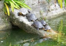 Alcune tartarughe che prendono sole fotografie stock