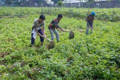 Alcuni agricoltori locali del bambino sono nell'inverno, riunione della patata nel loro campo in Thakurgong, Bangladesh Fotografia Stock