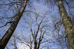 Alberi nudi contro cielo blu nella primavera Immagini Stock Libere da Diritti