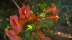Alcuni bei fiori che sbocciano nel giardino in primavera stock footage
