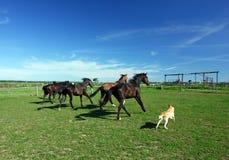 Alcuni cavalli in un campo e un cane. Fotografia Stock