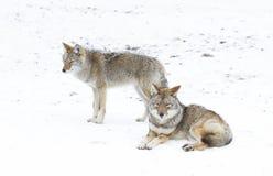 Alcuni coyote che camminano contro un fondo bianco di inverno Fotografie Stock