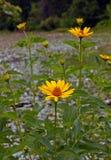 Alcuni dei fiori gialli fotografia stock