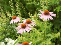 Alcuni fiori dell'echinacea purpurea Immagine Stock