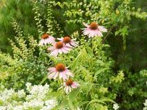 Alcuni fiori dell'echinacea purpurea Fotografia Stock