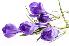 Alcuni fiori della molla di croco viola isolati su fondo bianco Fotografia Stock