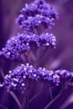 Alcuni fiori di porpora Fotografie Stock