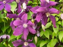 Alcuni fiori Viticella della clematide Fotografia Stock
