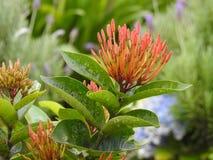 Alcuni germogli di fiori di ixora di mattina leggeri fotografie stock