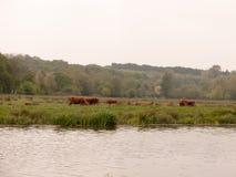 Alcuni manzi marroni adorabili della mucca fuori di ed attraverso il fiume Graz fotografia stock libera da diritti