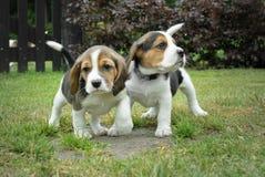 Alcuni piccoli cuccioli del cane da lepre fotografia stock