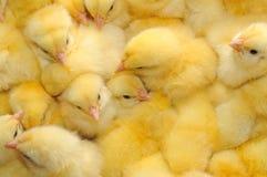 Alcuni polli Fotografie Stock Libere da Diritti