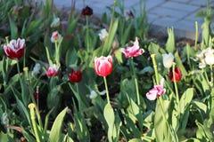 Alcuni tulipani rossi e bianchi fotografia stock libera da diritti