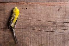Alcuni uccelli non sono destinati per essere ingabbiati Fotografia Stock