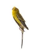 Alcuni uccelli non sono destinati per essere ingabbiati Immagini Stock