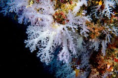 Alcyonarian Soft Coral wall underwater landscape panorama Stock Image