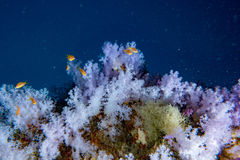 Alcyonarian Soft Coral wall underwater landscape panorama Stock Images