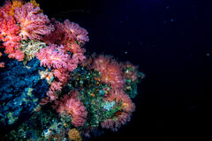 Alcyonarian Soft Coral wall underwater landscape panorama royalty free stock photos