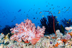 Alcyonarian Soft Coral wall underwater landscape panorama Royalty Free Stock Photo