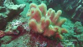 Alcyonium digitatum. Underwater soft corals on sea ocean. Amazing, beautiful underwater world Bali Indonesia and life of. Alcyonium digitatum.Underwater soft stock video