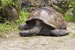 Aldabra巨型草龟,陡壁峡口蛇头草属gigantea 免版税图库摄影