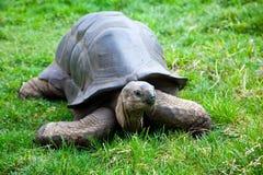 aldabra巨型草龟 免版税图库摄影