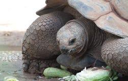 Aldabra巨型草龟 免版税库存照片