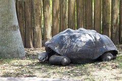 Aldabra巨型草龟 免版税库存图片