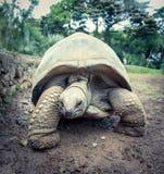 Aldabra巨型草龟 图库摄影