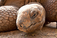 Aldabra巨型草龟(Aldabrachelys gigantea) 免版税库存图片