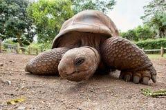 Aldabra巨型草龟(Aldabrachelys gigantea) 免版税库存照片