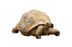 aldabra陡壁峡口蛇头草属巨型gigantea草龟 免版税库存照片