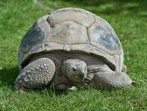 aldabra陡壁峡口蛇头草属巨型gigantea草龟 免版税图库摄影