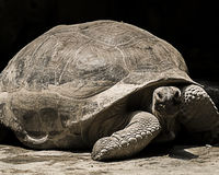 Aldabra γιγαντιαίο Tortoise Στοκ φωτογραφίες με δικαίωμα ελεύθερης χρήσης
