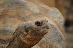 aldabra aldabrachelys巨型gigantea草龟 库存图片