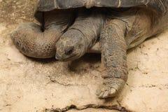 aldabra aldabrachelys巨型gigantea草龟 图库摄影