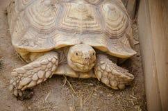 aldabra aldabrachelys巨型gigantea草龟 免版税库存图片
