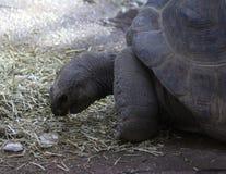 Aldabra Giant close Royalty Free Stock Photos
