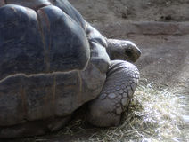 Aldabra Giant close Royalty Free Stock Images