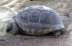 Aldabra Giant Royalty Free Stock Photo