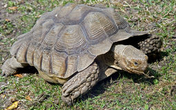 Aldabra giant tortoise 1 Stock Photo