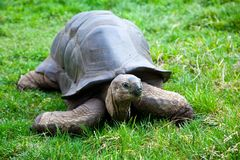 Aldabra Giant Tortoise Royalty Free Stock Photography