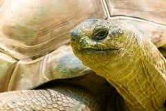 Free Aldabra Giant Tortoise Stock Photo - 165264960