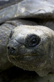 Aldabra giant tortoise Stock Photography