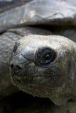 Aldabra giant tortoise Stock Photography